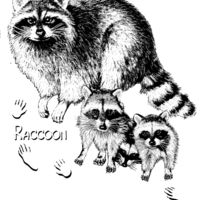 Z32 Raccoon family Thumbnail
