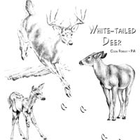 z263 white tailed deer Thumbnail