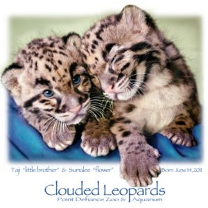 Clouded Leopard 2011 Pt Defiance 5 worked Thumbnail