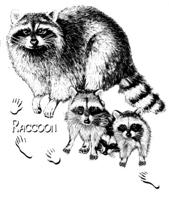 Z32 Raccoon family