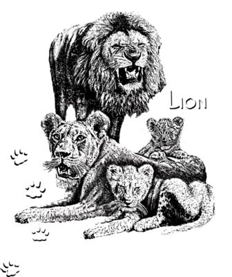 Z23 African lion family