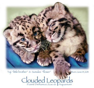 Clouded Leopard 2011 Pt Defiance 5 worked